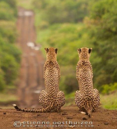 environnement,biodiversité,nature,guépard,félins,animaux