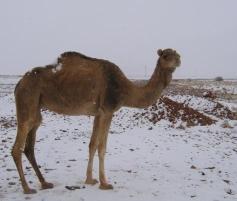 dromadaire desert neige.jpg