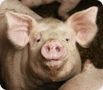 environnement,agriculture,eau,nitrates,porcs,compost,épandage,bretagne