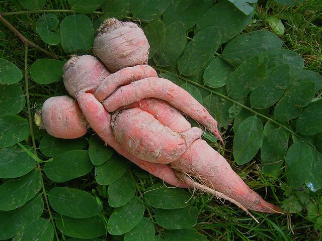 legume tordu courbe