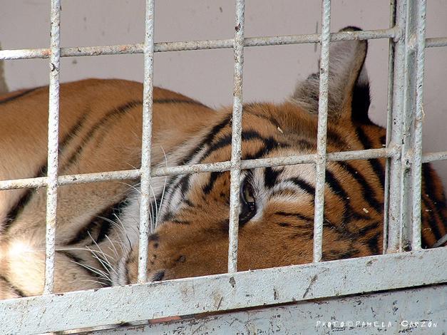 tigre cirque.jpg