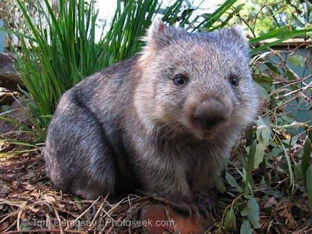 papier crotte wombat.jpg